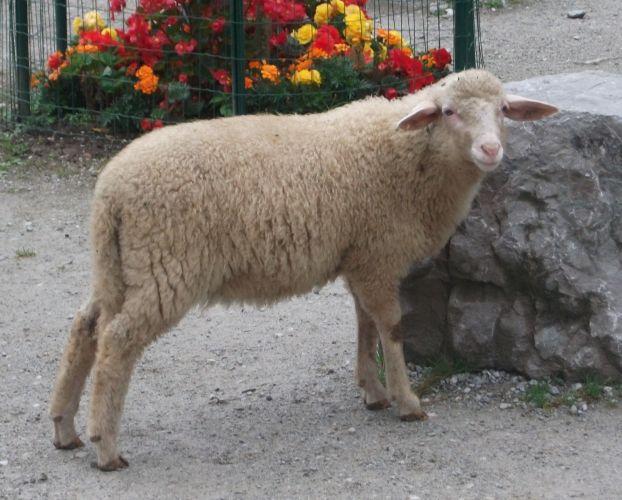 Waldschaf (Zoo Salzburg)