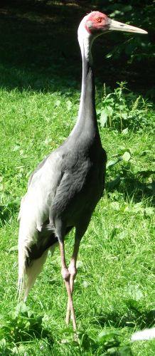 Weißnackenkranich (Vogelpark Irgenöd)
