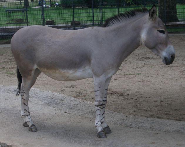 Afrikanischer Wildesel (Wilhelma Stuttgart)
