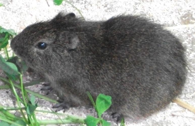 Aperea-Wildmeerschweinchen (Tierpark Hellabrunn)