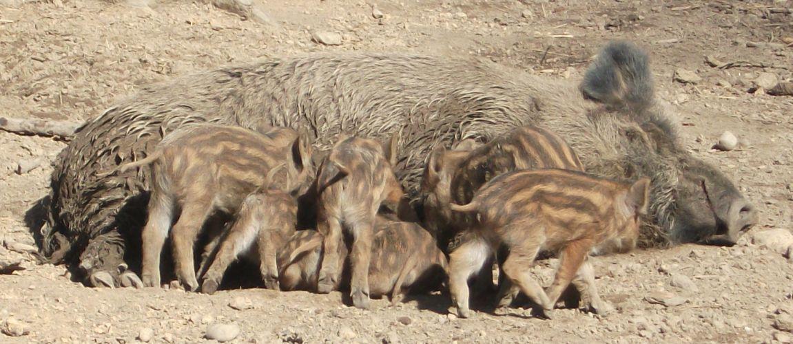 Wildschwein (Bergtierpark Blindham)