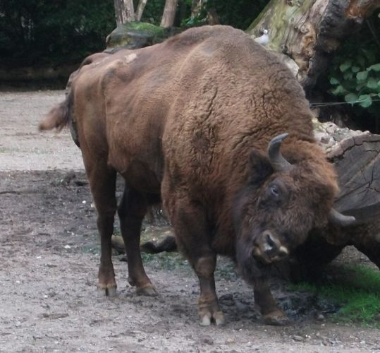 Wisent (Zoo Duisburg)