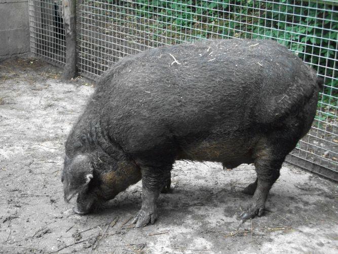 Wollschwein (Tierpark Haag)