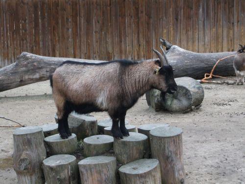 Zwergziege (Zoo Augsburg)