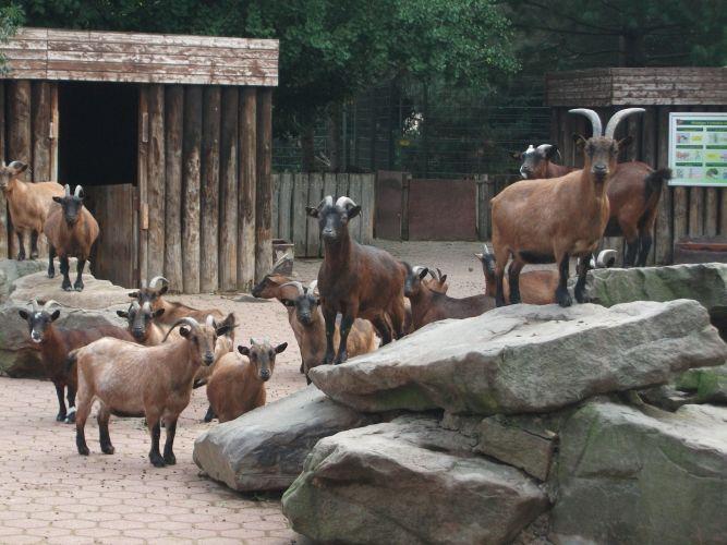 Zwergziege (Tierpark und Fossilium Bochum)