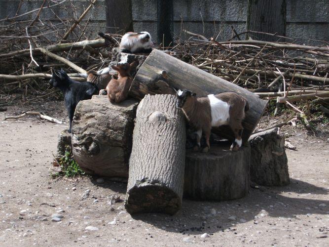 Zwergziege (Tierpark Hellabrunn)