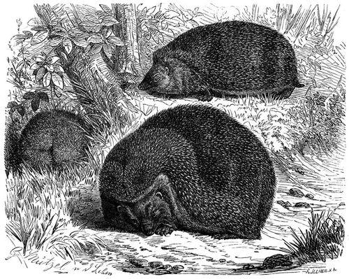 Braunbrustigel (Brehms Tierleben)