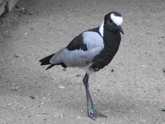 Schmiedespornkiebitz (Vogelpark Irgenöd)