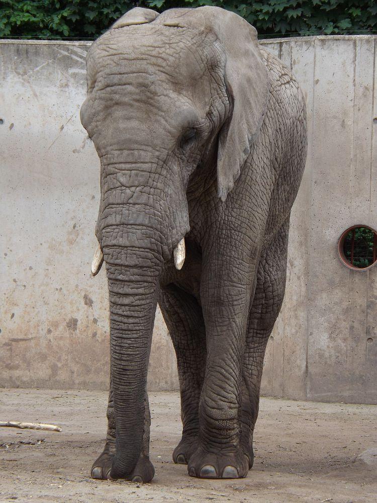 Afrikanischer Elefant (Zoopark Thüringen)