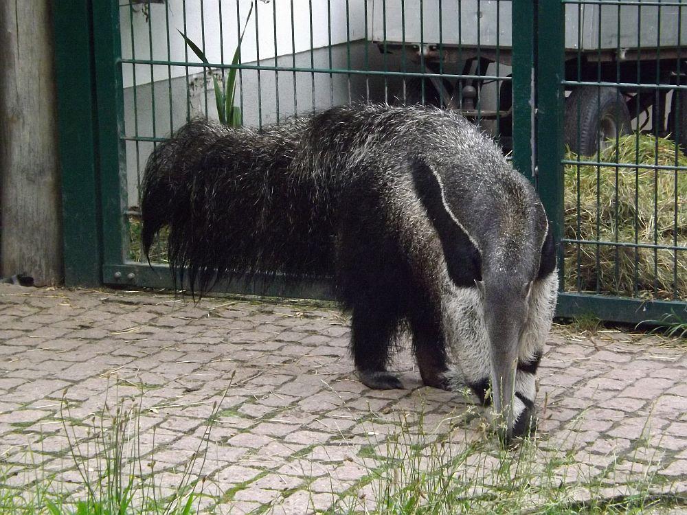 Großer Ameisenbär (Bergzoo Halle)