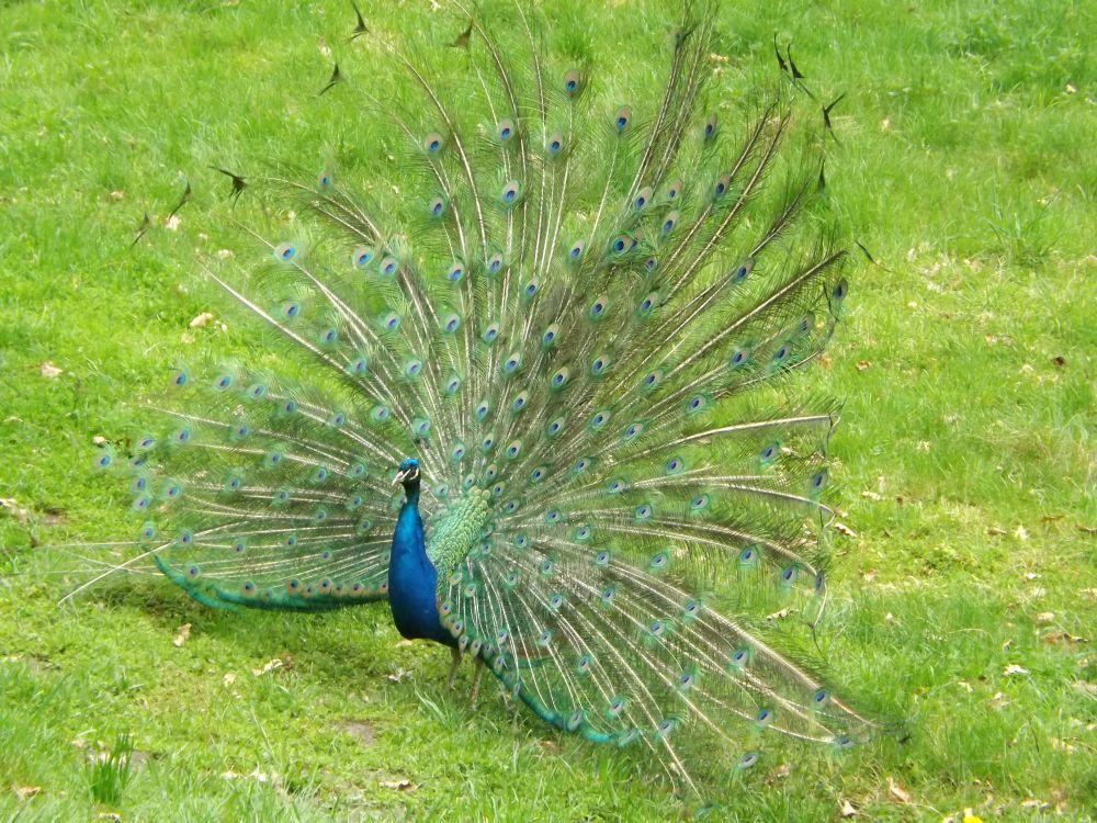 Blauer Pfau (Vogelpark Abensberg)