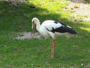 Maguaristorch (Vogelpark Irgenöd)