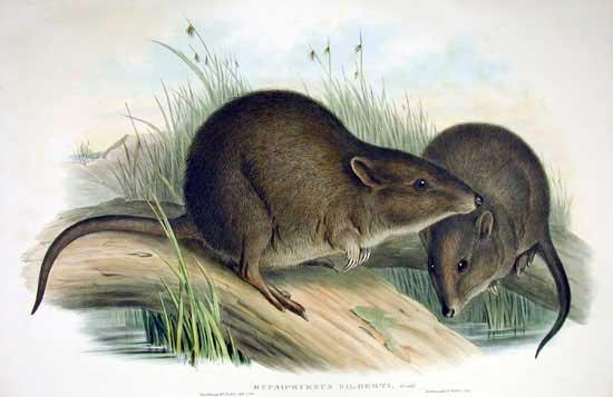 Potorous gilberti (John Gould)