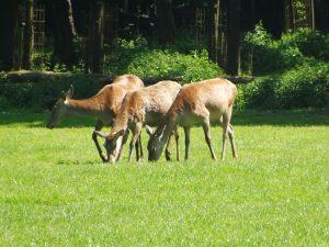 Rothirsch (Wildpark Poing)