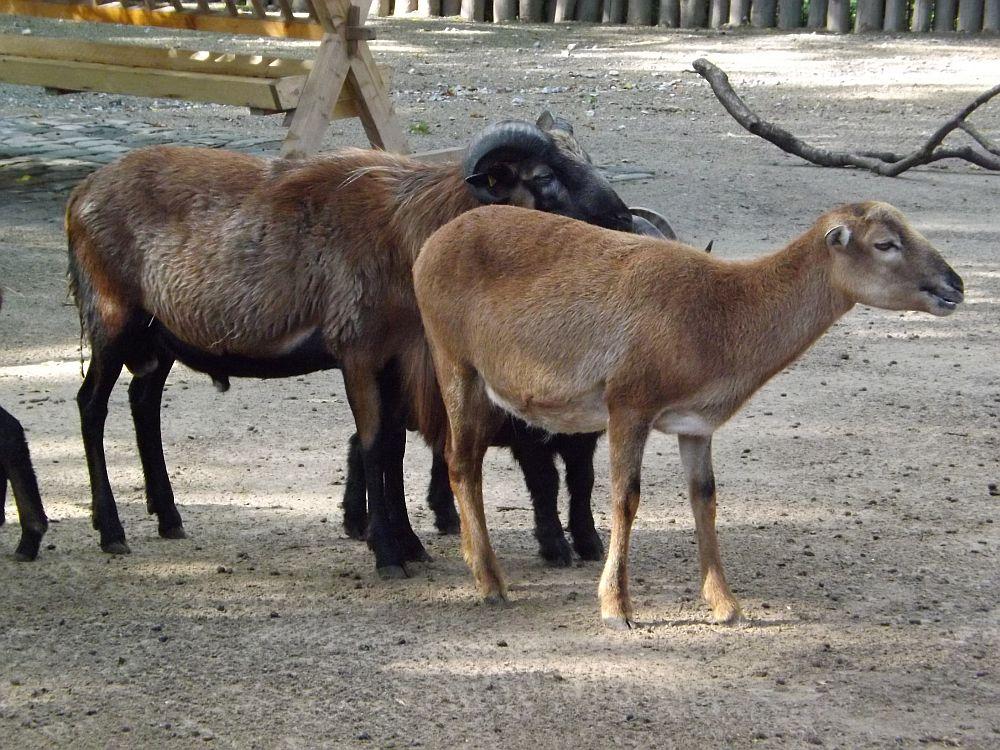 Kamerunschaf (Zoo Duisburg)