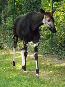 Okapi (Zoo Frankfurt)