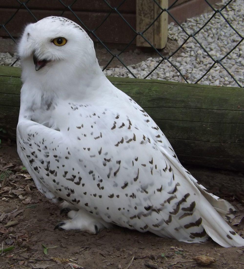 Schnee-Eule (Vogelpark Abensberg)