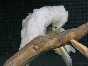 Weißhaubenkakadu (Wildpark Altenfelden)