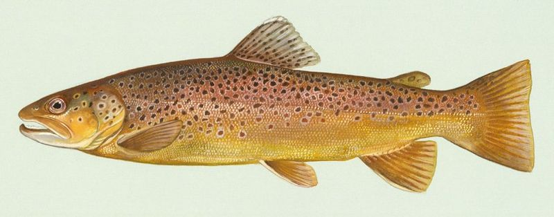 Bachforelle (Duane Raver,U. S. Fish and Wildlife Service )