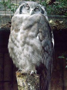 Milchuhu (Weltvogelpark Walsrode)