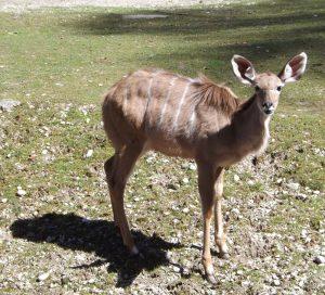 Großer Kudu, Jungtier (Tierpark Hellabrunn)