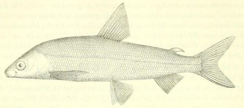 Bodenseekilch (Die Süsswasserfische der österreichischen Monarchie mit Rücksicht auf die angrenzenden Länder)