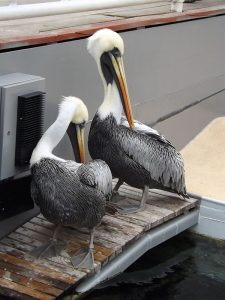 Chile-Pelikan (Erlebniszoo Hannover)