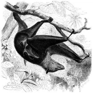 Kalong (Brehms Tierleben)