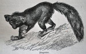 Fingertier (Brehms Tierleben)