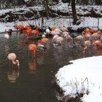 Flamingos im Schnee (Tierpark Hellabrunn)