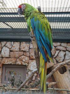 Großer Soldatenara (Weltvogelpark Walsrode)