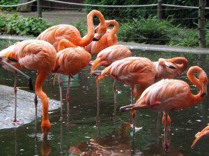 Roter Flamingo (Zoo Dresden)