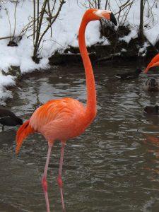 Roter Flamingo (Tierpark Hellabrunn)