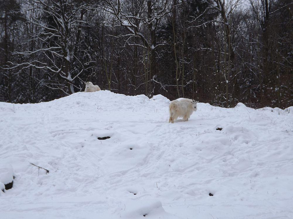 Anlage der Schneeziegen (Zoo Augsburg)