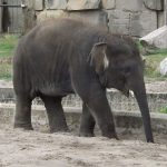 Asiatischer Elefant (Tierpark Berlin)