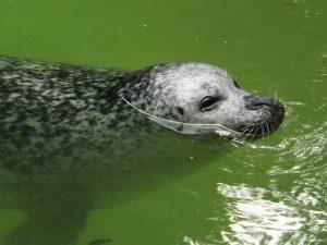 Seehund (Zoo Duisburg)