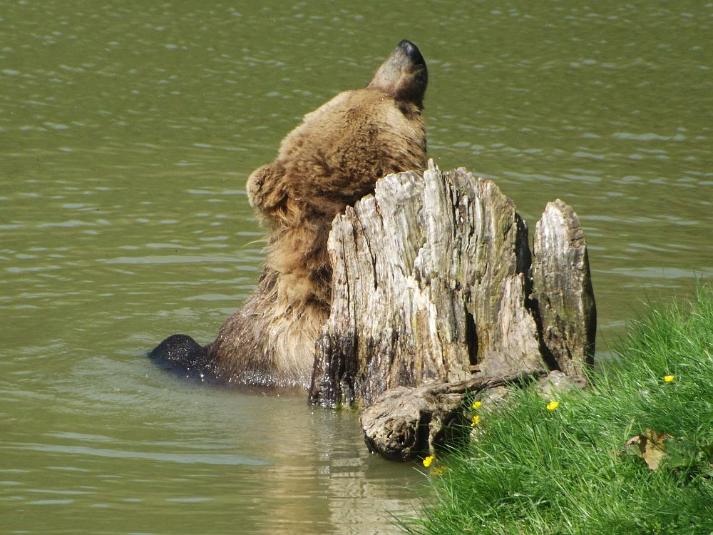 Europäischer Braunbär (Wildpark Poing)