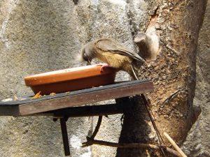 Braunflügelmausvogel (Tiergarten Schönbrunn)