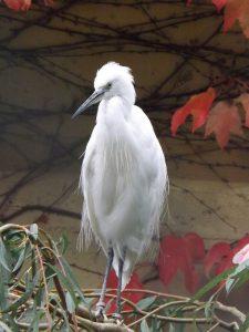 Seidenreiher (Zoo Augsburg)