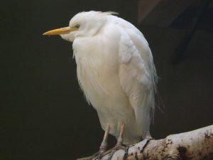 Kuhreiher (Zoo Augsburg)