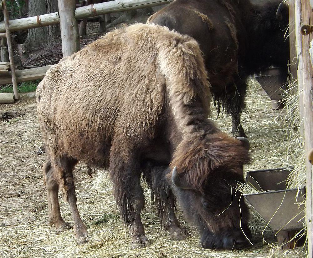 Präriebison (Zoo Brno)