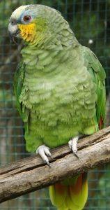 Venezuela-Amazone (Wildpark Altenfelden)