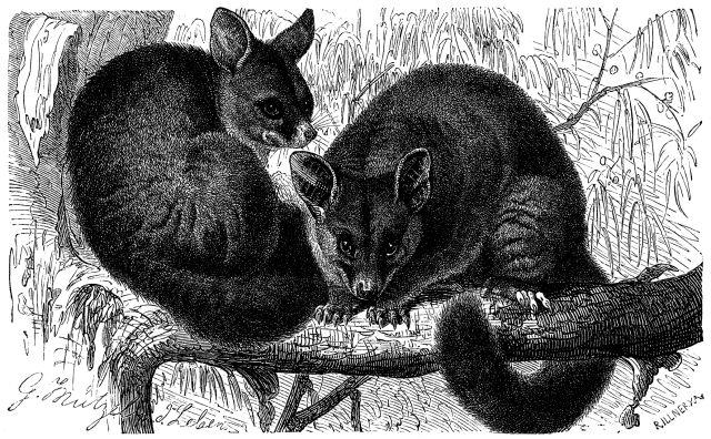 Fuchskusu (Brehms Tierleben)