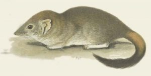 Bürstenschwanzbeutelmaus (Spencer, B. - Spencer, B. 1896. Mammalia. Pp. 1–52 in: Spencer, B. (ed.), Report on the work of the Horn Scientific Expedition to Central Australia. Part 2.–Zoology. Melville, Mullen and Slade: Melbourne)