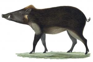 Javanisches Pustelschwein (H. Schlegel)