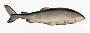 Grönlandhai (Jonathan Couch)