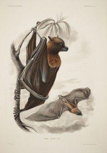 Samoa-Flughund (Cassin J. Mammalogy and Ornithology. Atlas. Philadelphia: C. Sherman and son, 1858, 466 p. Mammalogy, Plate 2.)
