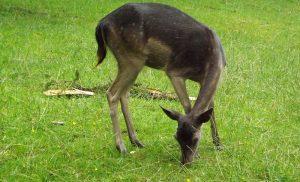 Europäischer Damhirsch (Wildpark Schloss Tambach)