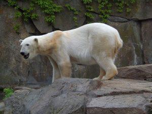 Eisbär (Zoo Berlin)
