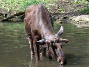 Elch (Bayerwald-Tierpark Lohberg)